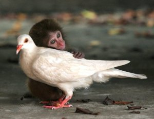 Colombe et petit singe