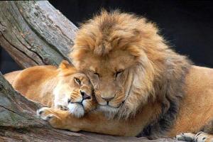 Lion et lionne câlin