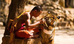 Moine boudiste tigre