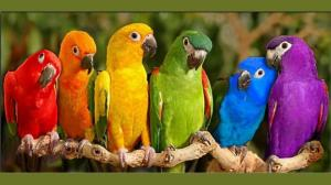 Perroquets multicolors